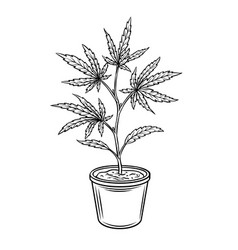Hemp potted plant vector