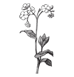 Forget me not Engraving vector