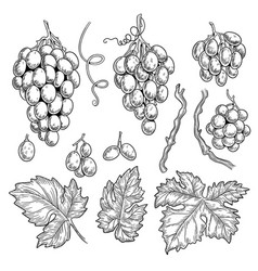 grape doodle wine symbols for restaurant menu vector image