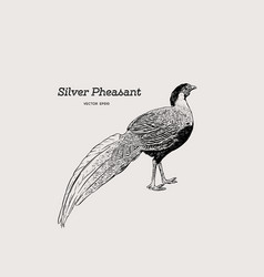 silver pheasant gallophasis nycthemerus vintage vector image