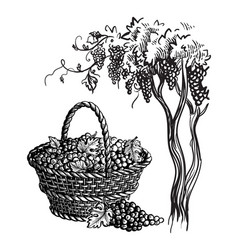 basket with grapes vector image