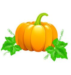 beautiful ripe orange pumpkin vector image vector image
