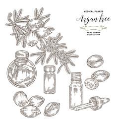 Argan tree argania spinosa branch with nuts vector