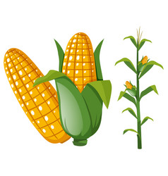Corns on the cob and plant vector