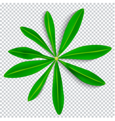 naturalistic colorful lupine leaf on transparent vector image