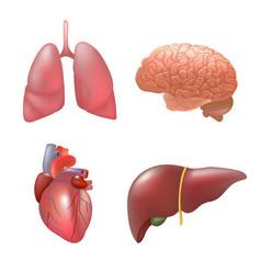 Realistic human organs set anatomy vector
