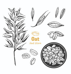 Oats hand drawn vector