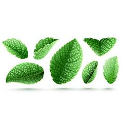 set of fresh green mint leaves vector image