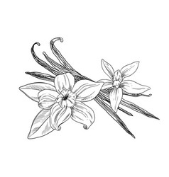 Vanilla beans with flowers and leaves ink sketch vector