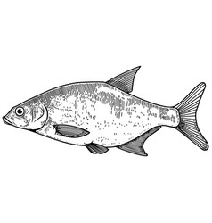 Bream fish in engraving style design element vector