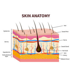 Human skin layered epidermis with hair follicle vector