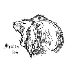 yawning african lion vector image vector image