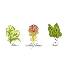 Set salads and leafy vegetables oakleaf vector