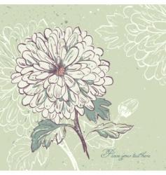blooming chrysanthemum vector image