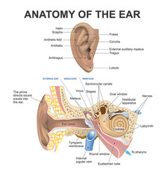 anatomy of the ear vector image