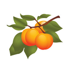 Apricot fruits on plant vector