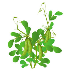 Agricultural plant green pea isolated on white vector