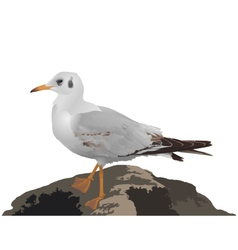 Seagull stands on stone isolated on white vector image