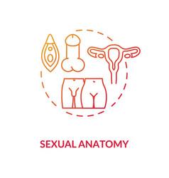 Sexual anatomy concept icon vector
