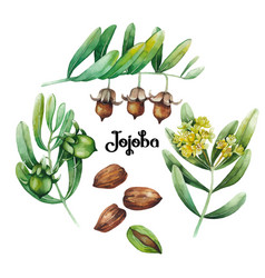 watercolor jojoba plant vector image