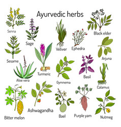ayurvedic herbs natural botanical set vector image