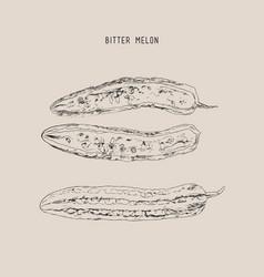 Bitter melon pod sketch vector