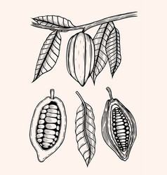 engraved of cocoa beans vector image