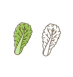 Organic romaine lettuce monochrome and colorful vector