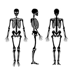 Anatomical human skeleton in three positions vector
