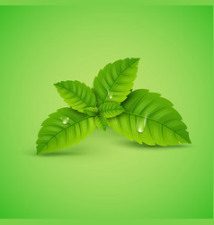 fresh mint leaf menthol healthy aroma vector image