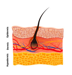 Detailed human skin structure with hair medical vector