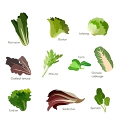 Set of salad greens Leafy vegetables salad icons vector image vector image