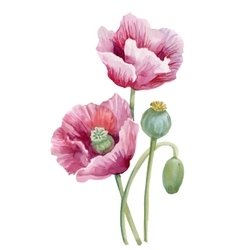 Watercolor blooming poppy flowers vector image