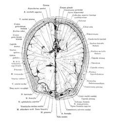cross section of head at supraorbital margin vector image