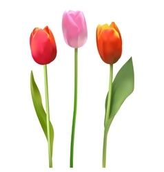 Beautiful colorful bouquet of tulips Tulip on vector image vector image