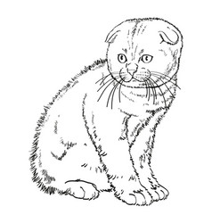 scottish lop eared kitten drawing vector image