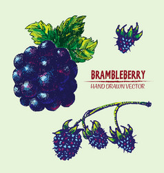 digital detailed color brambleberry vector image