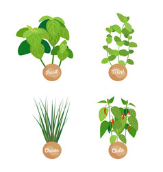 basil and mint chives chile vector image