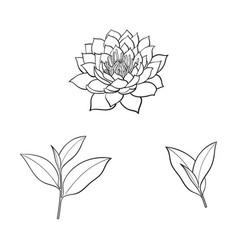 Sketch lotus flower tea leaves set vector