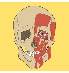 Human skull with muscle system vector image vector image