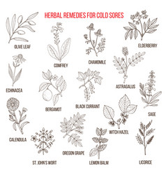 best herbal remedies for cold sores vector image