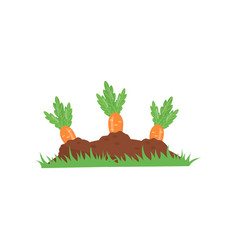 carrot growing from ground vegetable on garden vector image