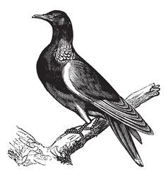 Wood Pigeon vintage engraving vector image