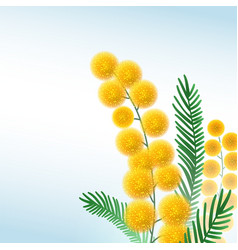 mimosa flower branch close up vector image