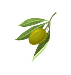 ripe green olive with leaves vector image