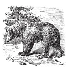 Cinnamon Bear vintage engraving vector image vector image