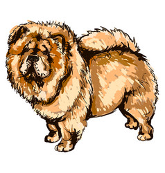 dog breed chow-chow vector image vector image
