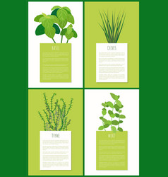 Basil chives thyme and mint aroma spices plants vector