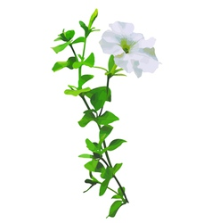 white petunia vector image