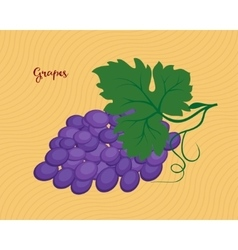 Bunch of purple grapes vector